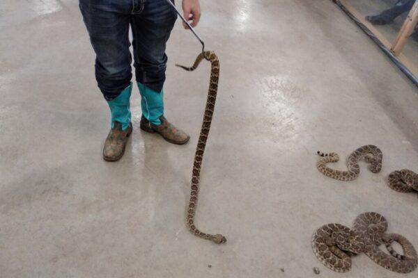 Oglesby-Rattlesnake-Roundup-10