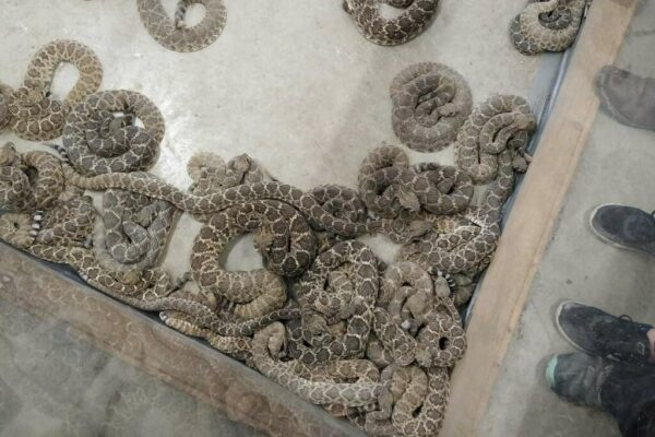 Oglesby-Rattlesnake-Roundup-13