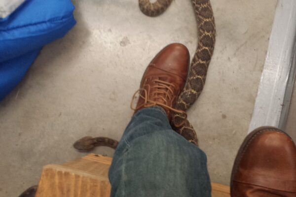 Texas Rattlesnake Roundup Hunt
