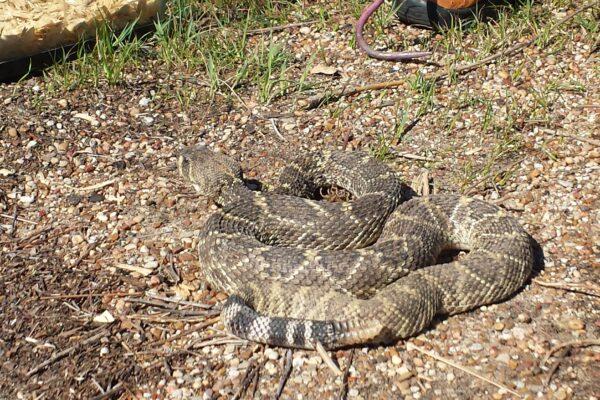 Oglesby-Texas-Rattlesnake-Roundup-2016-Western diamondback